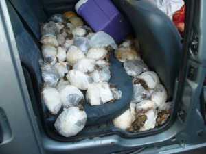 albanien italien schildkröten