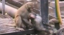 Majmuni-hero