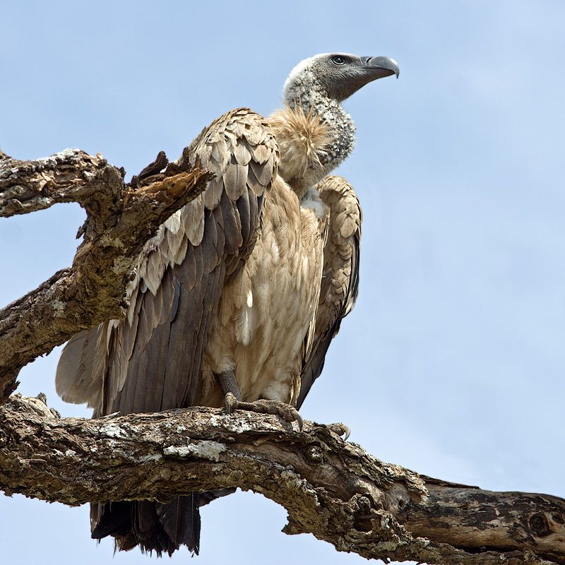 80747400.UOw6Vbz2.african_white_backed_vulture