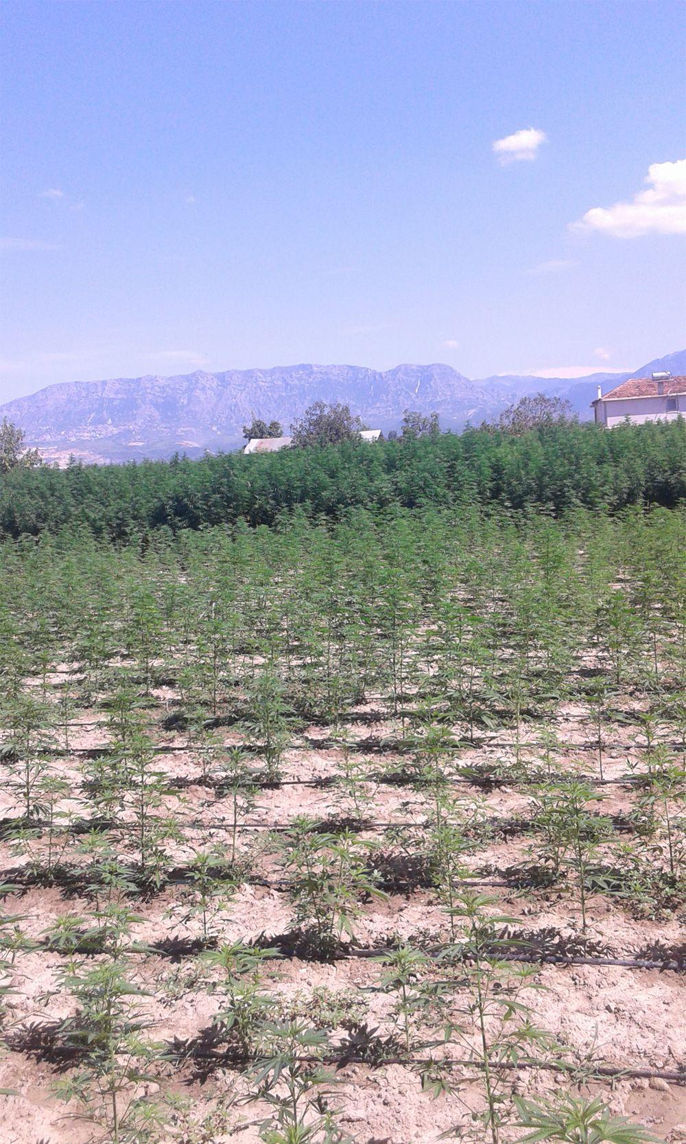 Rhinas Cannabis