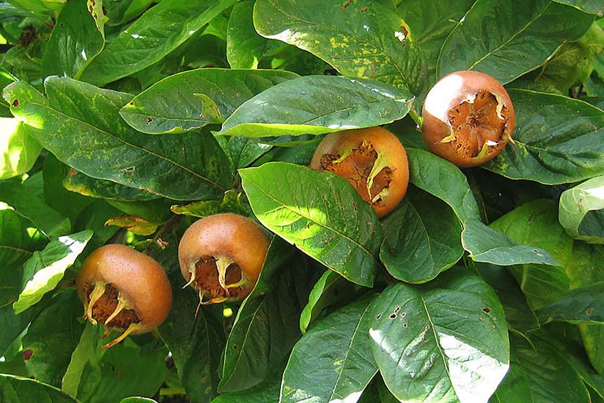 foglie-nespolo