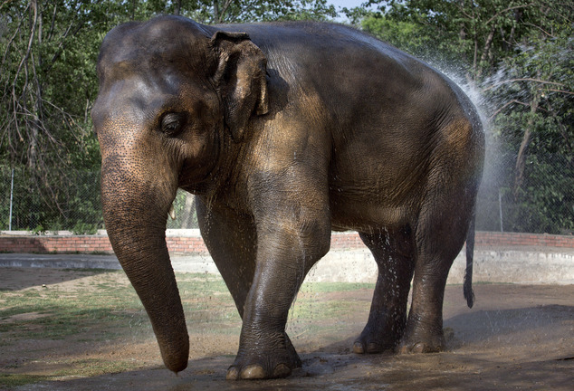 In this Thursday, June 2, 2016, elephant 'Kaavan' takes a bath at Marghazar Zoo in Islamabad, Pakistan. The plight of Kaavan, a mentally tormented bull elephant confined to a small pen in the Islamabad Zoo for nearly three decades, has galvanized a rare animal rights campaign in Pakistan, which has brought the issue to the floor of parliament. (AP Photo/Anjum Naveed)