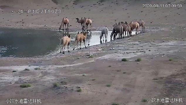 VIDEO/ Njëra prej këtyre deveve konsiderohet e para në botë e llojit të saj. Mësoni arsyen pse