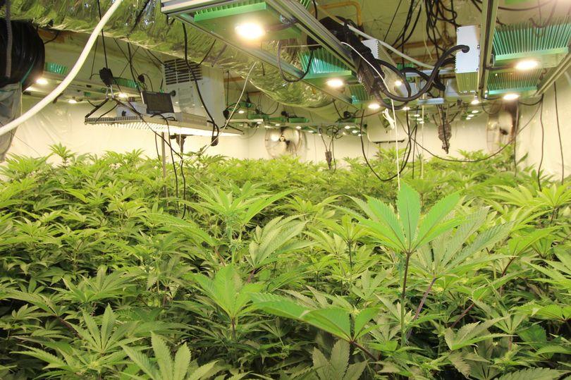 0_Trowell-cannabis-grow-001